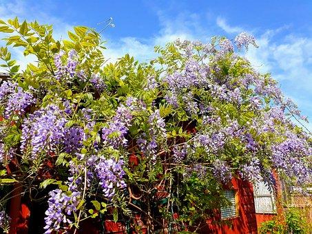 Blue Rain, Climber, Wisteria, Flower, Plant, Tree