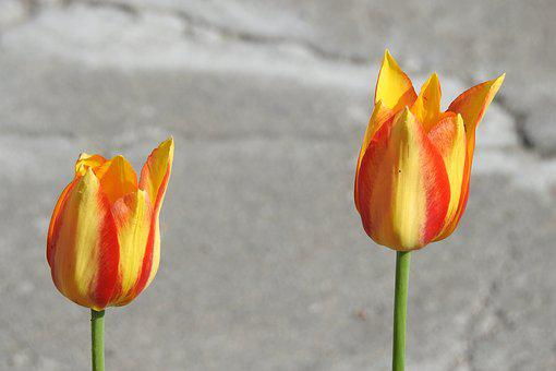 Flower, Tulip, Nature, No One, Summer, Spring, Plant