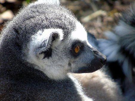 Mammal, Wildlife, Primate, Portrait, Zoo, Monkey, Cute