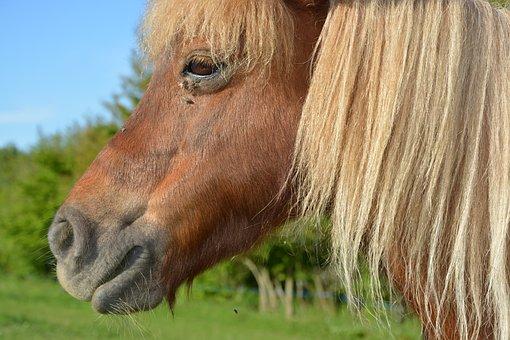 Pony, Shetland Pony, Portrait Profile Pony, Mane Washed