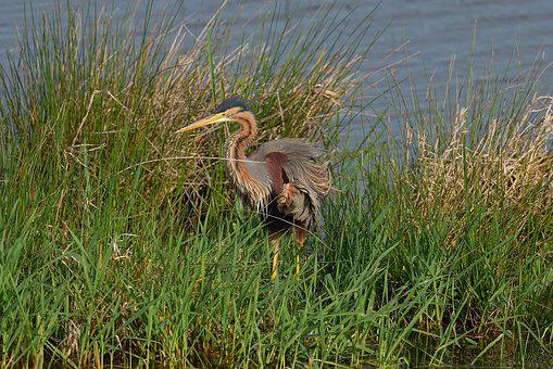 Nature, Pond, Body Of Water, Purple Heron