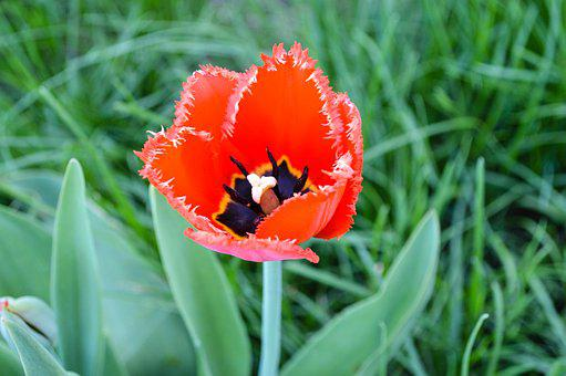 Tulip, Tulips, Mack, Maki, Red Flowers, Red Flower
