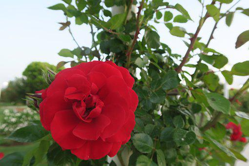 Red Rose, Nature, Plant, Flower, Leaves