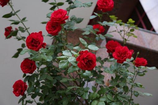 Red Rose, Rose, Flower, Plant, Petals