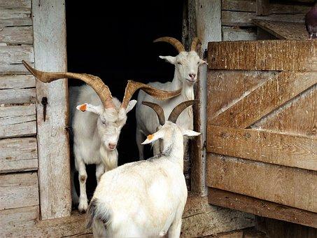 Grange, Animal, Rural, Goat, Livestock, Domestic