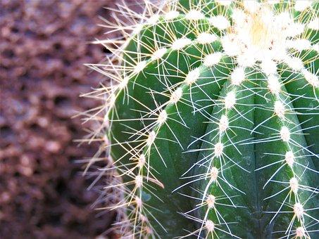 Cactus, Spine, Succulent, Sharp, Desert, Prickly