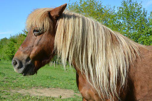 Pony, Shetland Pony, Small Horse, Pony Sorrel