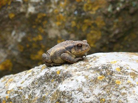 Toad, Sapito, Batrachian, Small, Tiny, Nature, Animalia