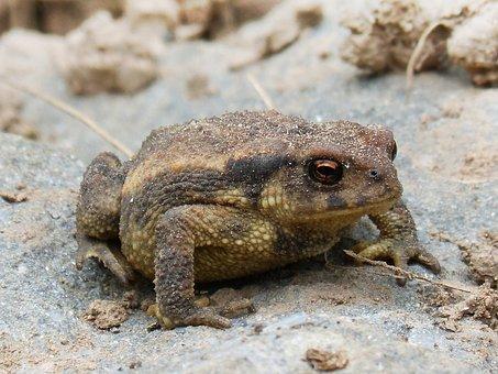 Toad, Sapito, Batrachian, Tiny, Small, Wild Life