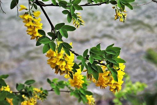 Plant, Wisteria, Nature, Flower, Leaf, Tree