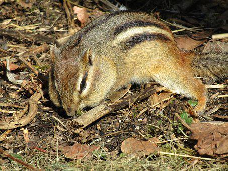 Nature, Wildlife, Mammal, Rodent, Animal, Chipmunk