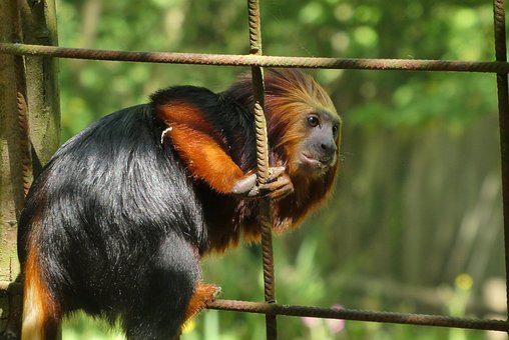 Monkey, Zoo, Planckendael, Belgium, Curious, Mammals