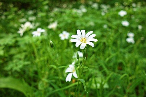 Addersmeat, Greater Stitchwort, Flower, White Flower