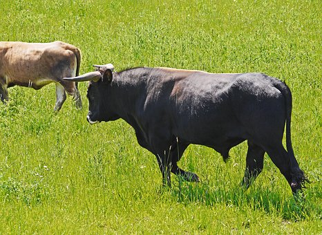 Bull, Cow, Heck Cattle, Nabu, Reserve, All-year Grazing