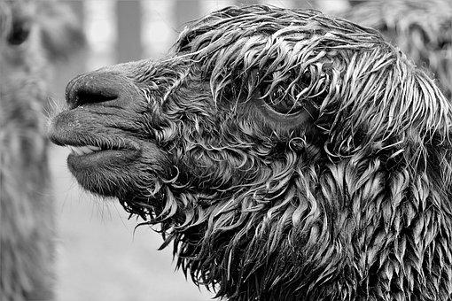 Alpaca, Black And White Photography, Close