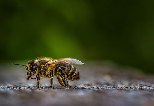 Insect, Nature, Bee, Animal, Wing, Animal World, Wild