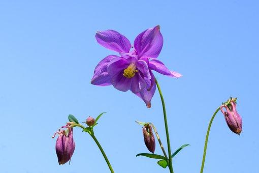 Columbine, Aquilegia, Ranunculaceae, Blossom, Bloom