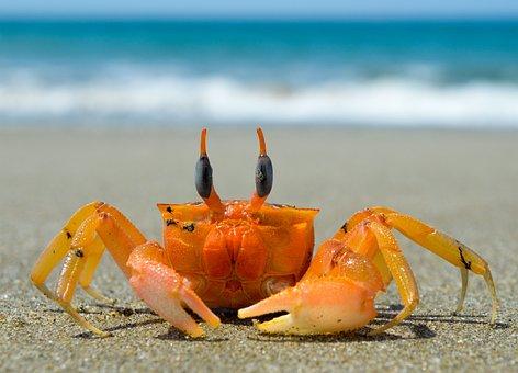 Crustacean, Crab, Sea, Beach, Claw, Ocean, Sand