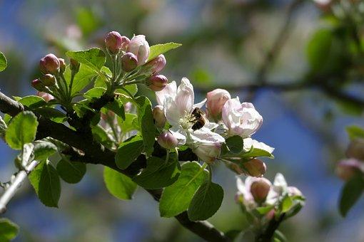 Apple Tree, Apple Blossom, Bee, Wild Bee, Spring