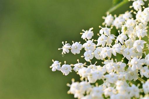 Elder Flower, Sambucus Nigra, Macro, Blossom, Blooming