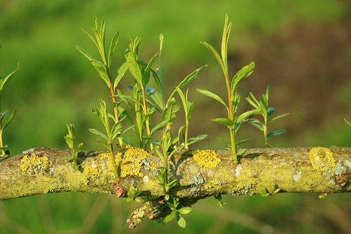 Pasture, Tree, Branch, Nature, Plant, Leaf, Close