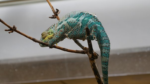 Animal, Lizard, Chameleon, Reptile, Creature, Exotic