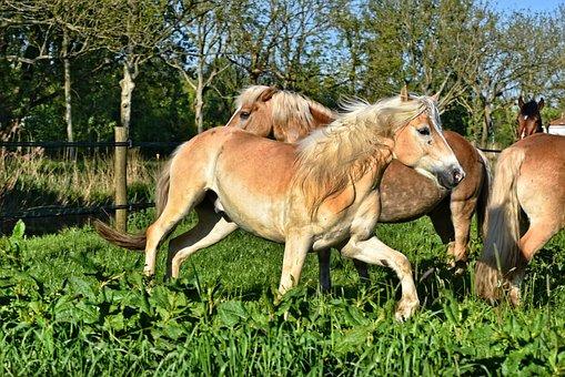 Horse, Pony, Equine, Animal, Mammal, Domestic