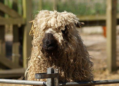 Animal, Mammal, Sheep, Farm, Livestock, Rural