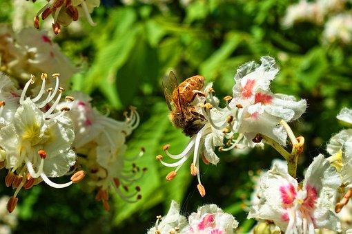 Honeybee, Bee, Insect, Animal, Feeding, Flower