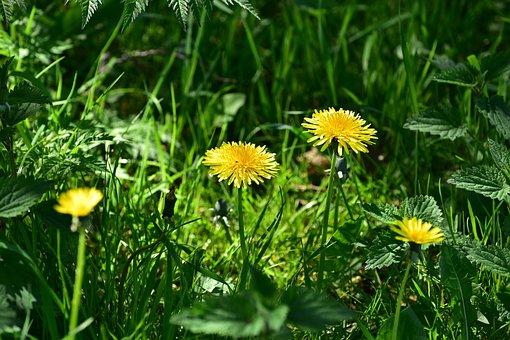Nature, Summer, Plant, Grass, Flower, Dandelion, Field