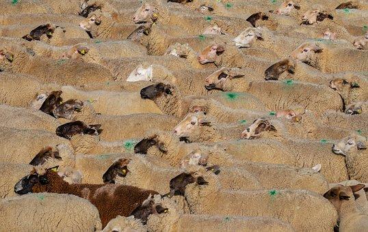 Sheep, Flock Of Sheep, Animals, Wool, Flock, Funny