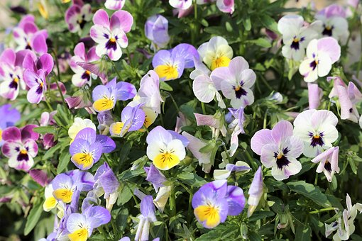 Pansy, Flower, Spring, Floral, Colorful, Flora, Nature