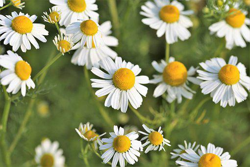 Chamomille, Matricaria Chamomilla, Herb, Flower