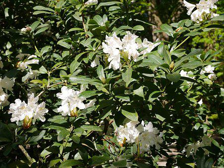 Flower, Plant, Leaf, Nature, Rhododendron, White