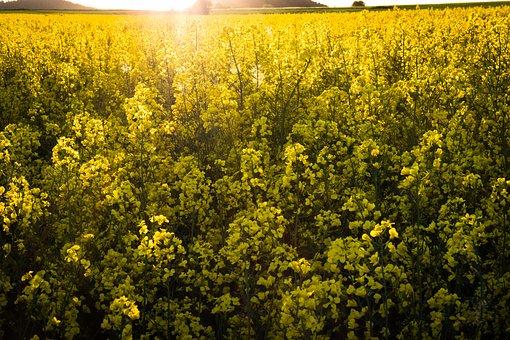 Flower, Agriculture, Plant, Field, Landscape