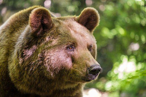 Bear, Brown Bear, Mammals, Wild Animal, Fur