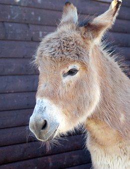 Animal, Mammal, Fur, Wildlife, Nature, Cute, Donkey