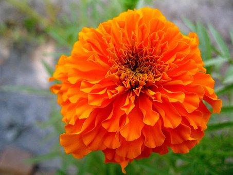 Flower, Nature, Flora, Garden, Summer, Blooming, Floral