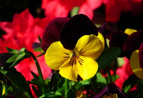 Flower, Pansy, Colored, Nature, Leaf, Plant, Garden