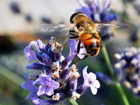 Bee, Insect, Nature, Flower, Honey, Pollination, Plant