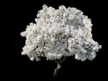 Tree, Magnolia, Spring, Blossom, Isolated, Nature, Sky