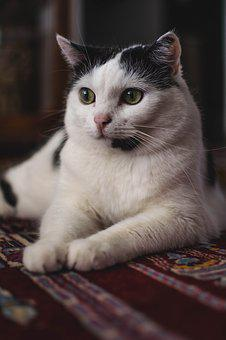 Cute, Cat, Animal, Portrait, Pet, Kitten, Small, Fluffy