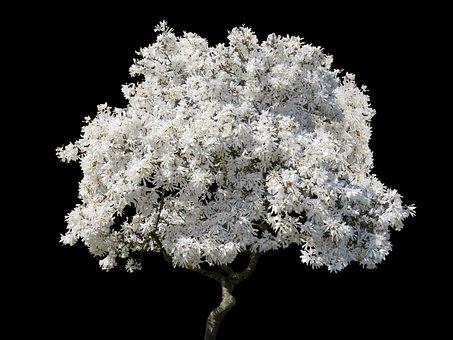 Tree, Magnolia, Spring, Blossom, Nature, Sky
