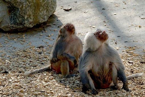 Nature, Mammal, Baboons, Animal, Primate, Zoo