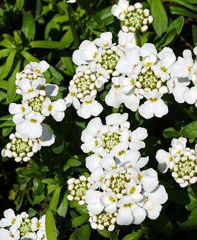 Flowering Ground Cover, Many Flowers, Bud, Flower