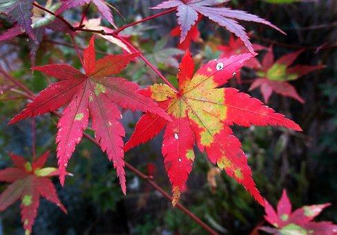 Autumn, Leaf, Nature, Fall, Flora, Maple