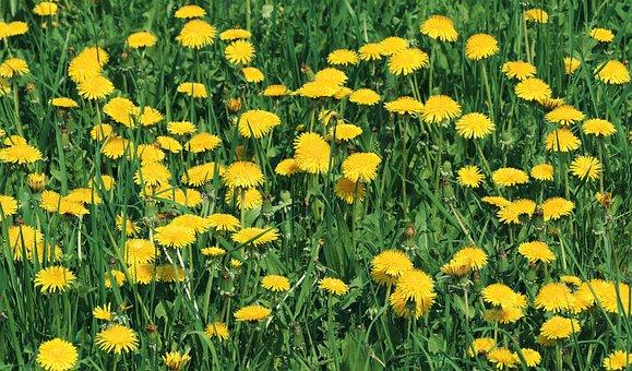 Dandelion, Mayflower, Flowers, Flower