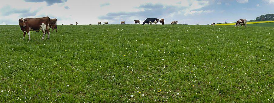 Cow, Cows, Cow Pasture, Pasture, Meadow, Agriculture