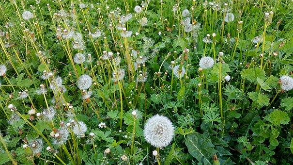 Dandelion, Meadow, Nature, Flower, Plant, Summer, Grass
