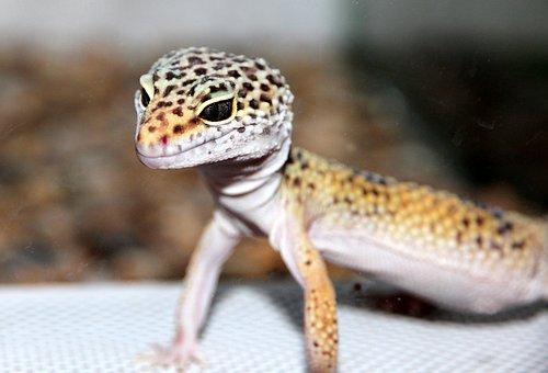 Lizard, Ablefor, Eublepharis, Reptile, Nature